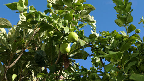 Unripe Green Lemons on the Branch Tree Footage