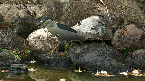 Black-Crowned night heron (Nycticorax nycticorax) Footage