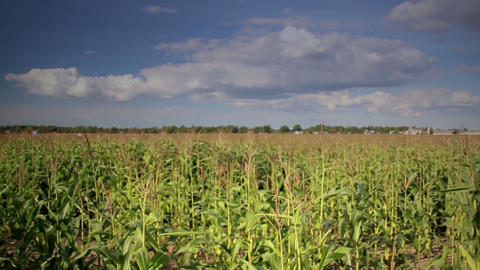 Overhead Cloudy View Of The Large Corn Field stock footage