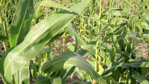 Tall corn stalks in the larg corn field Footage