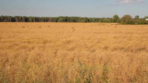 Big field of Rape Brassica napus Footage