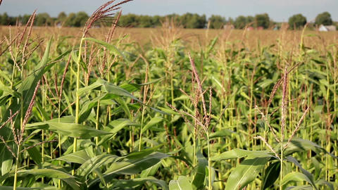 Young corn stalks in a big corn field Footage