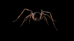 Black Widow Spider walking cycle (Looped/ Alpha) Animation