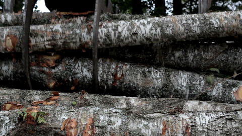 Neatly piling and loading cut birch trees at the b Footage