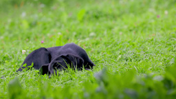 Cute Little Doggy Playing With Bone On Grass stock footage