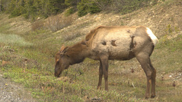HD2009-6-9-37 elk grazing Stock Video Footage