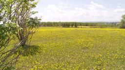 HD2009-6-11-2RC dandelion field Stock Video Footage