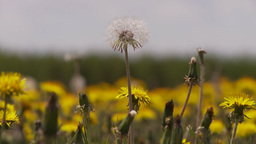 HD2009-6-11-2RC dandelion field Stock Video Footage