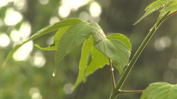 HD2009-6-17-13 rain leaves Stock Video Footage