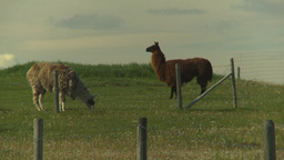 HD2009-6-19-17 Llamas Stock Video Footage