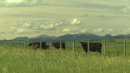 HD2009-6-19-21 cattle and mtns Stock Video Footage