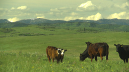 HD2009-6-19-23 cattle and mountains Stock Video Footage