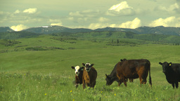 HD2009-6-19-23 cattle and mountains Footage