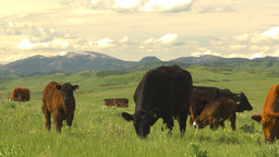 HD2009-6-19-25 cattle and mountains Stock Video Footage