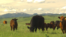 HD2009-6-19-25 cattle and mountains Footage