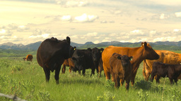 HD2009-6-19-27 cattle and mountains Footage