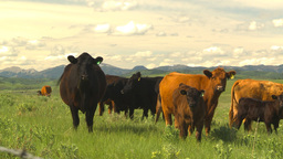 HD2009-6-19-27 cattle and mountains Stock Video Footage