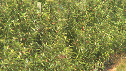 HD2009-6-22-50 fruit orchard Z Stock Video Footage