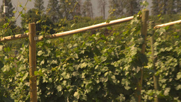 HD2009-6-26-3 vineyards Z Footage