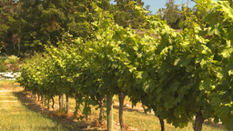 HD2009-6-26-5 vineyards Stock Video Footage