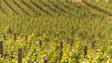 HD2009-6-26-7 Vineyards Z stock footage