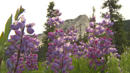 HD2009-6-27-2 flowers against mountain Footage