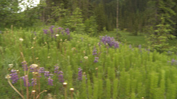 HD2009-6-27-4 dew covered flowers and forest pan Footage