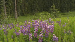 HD2009-6-27-4 dew covered flowers and forest pan Stock Video Footage
