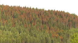 HD2009-6-28-1 pine beetle killed trees montage Footage