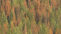 HD2009-6-28-1 pine beetle killed trees montage Stock Video Footage