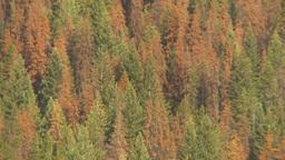 HD2009-6-28-1 pine beetle killed trees montage Stock Video Footage