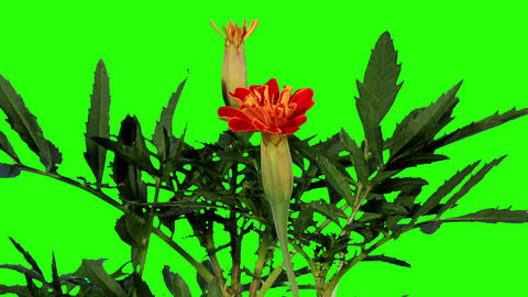 Blooming orange tagetes flower buds green screen,  Footage