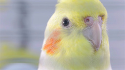 Detail Shoot Of Cockatiel Bird Head In Cage stock footage