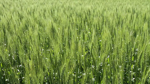Ripening wheat crop 02 Footage
