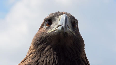 Golden Eagle Looks Around Footage