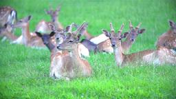Deer Herd Resting In Grass stock footage