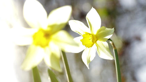 Daffodils In The Sun stock footage