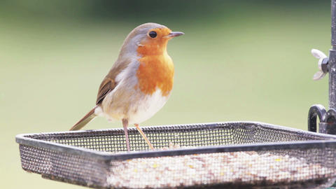 Robin Feeding stock footage