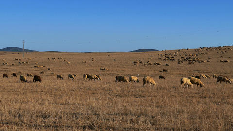 Flock Of Sheep Grazing On Fields stock footage