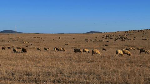 Flock of Sheep Grazing on Fields Footage
