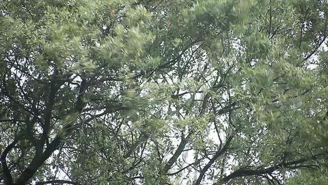 oak tree in gusty winds Footage