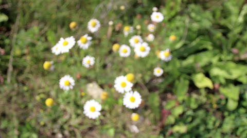 Set of small lovely beautiful white daisies flower Footage