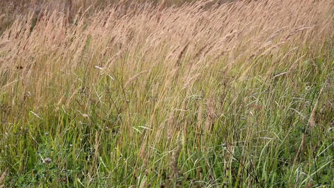 Tall grass stalks completely swayed by the strong  Footage