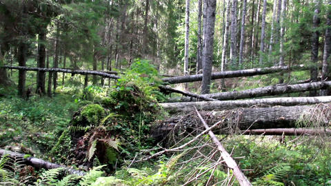 Several fallen trees found on forest Footage