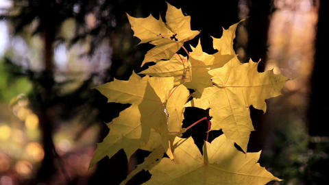Maple leaf gently swaying to the breeze Footage