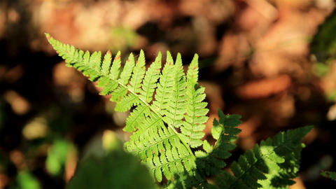 Fern leaf hit by the sunlight Footage