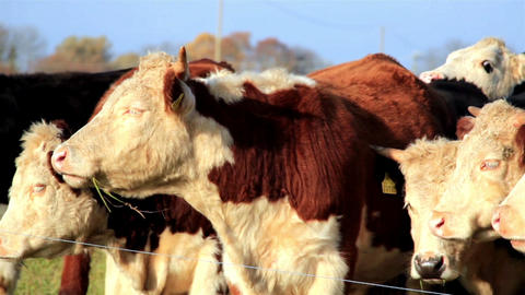 Cows with yellow tabs in their ears Live Action