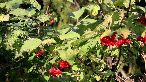 Leaves on the Viburnum opulus guelder rose cherry  Footage