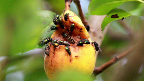 Large flies and a bee flocking at the rotten fruit Footage