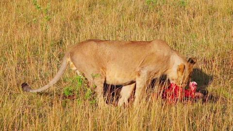 Lioness chewing on foot killed antelope Footage